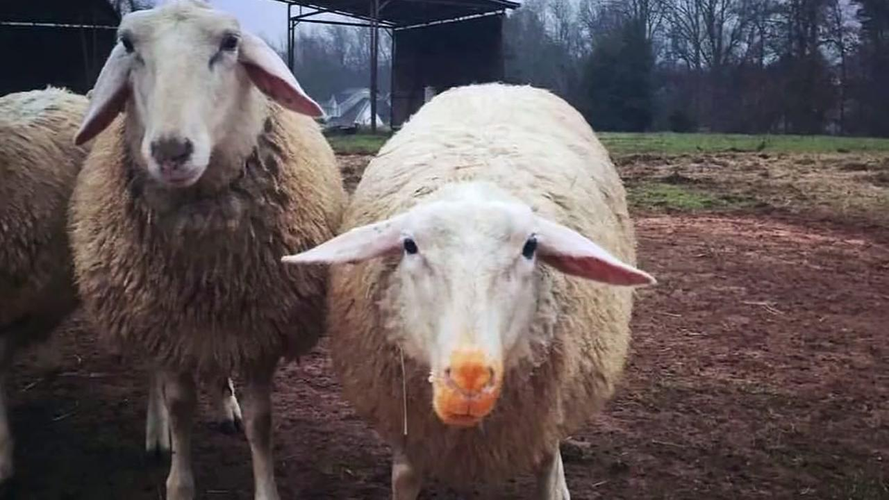Orange-nosed sheep can help you clean up after holidays