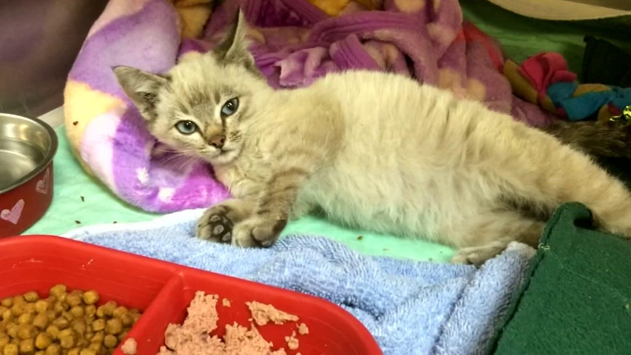 Kitten shrink-wrapped, shipped 500 miles