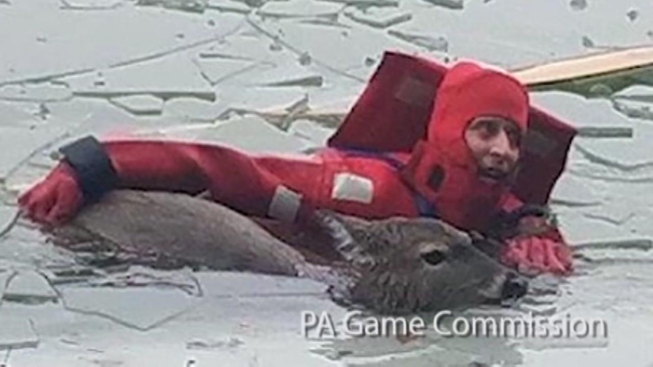 Rescue crews risk their lives to save deer