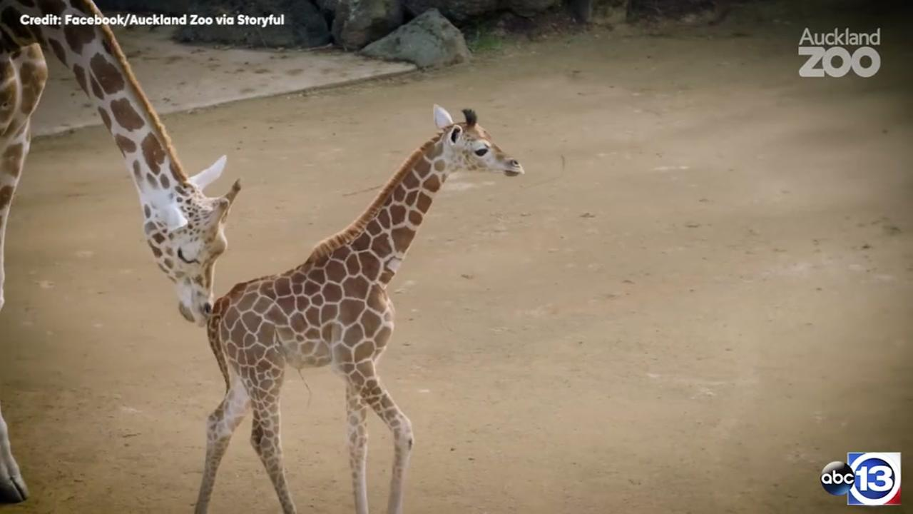 Surviving baby twin giraffe takes first steps