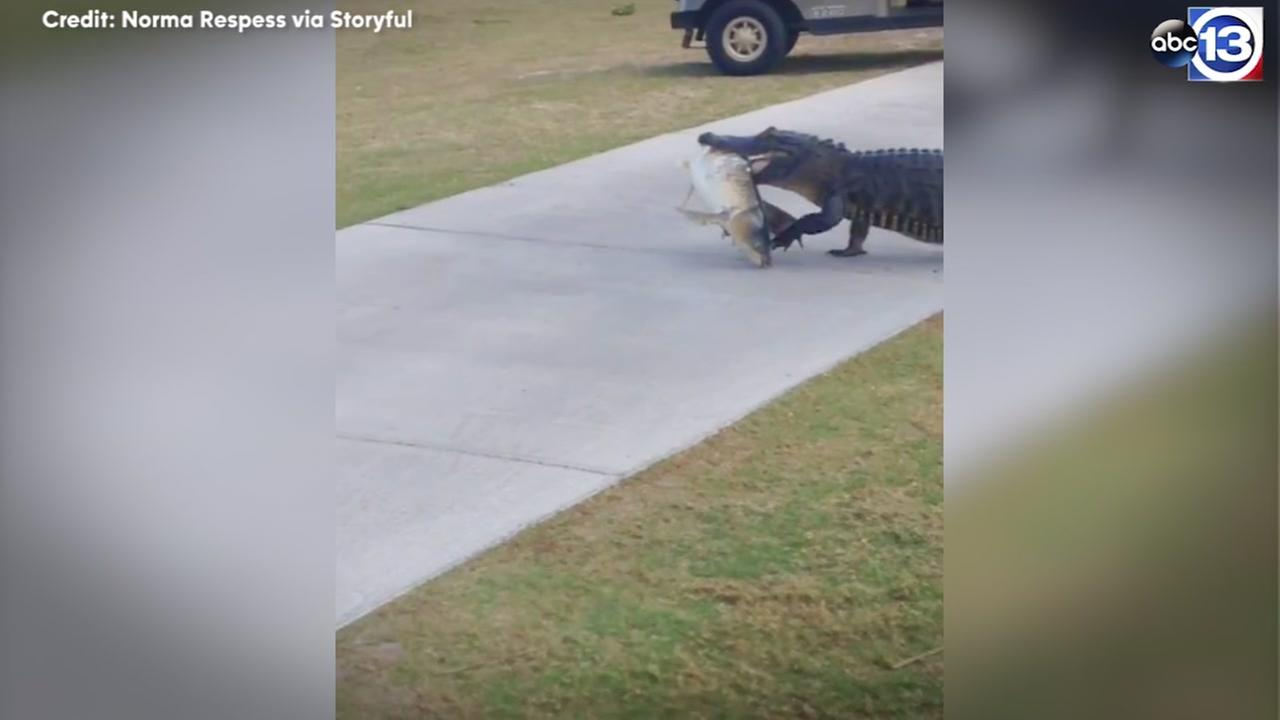Alligator caught with big fish in mouth