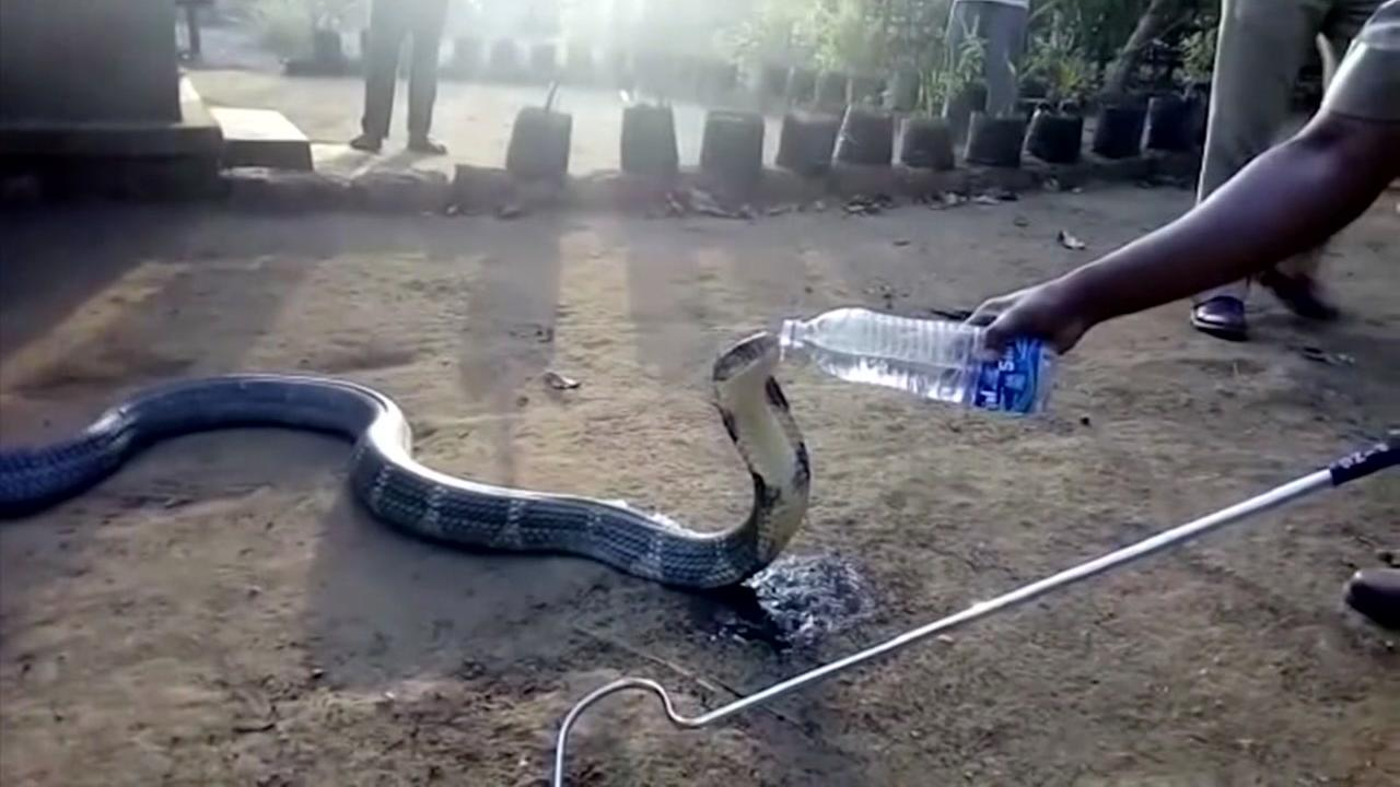 Wild cobra politely drinks from water bottle