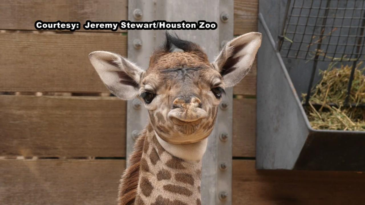 Houston Zoo welcomes another baby giraffe