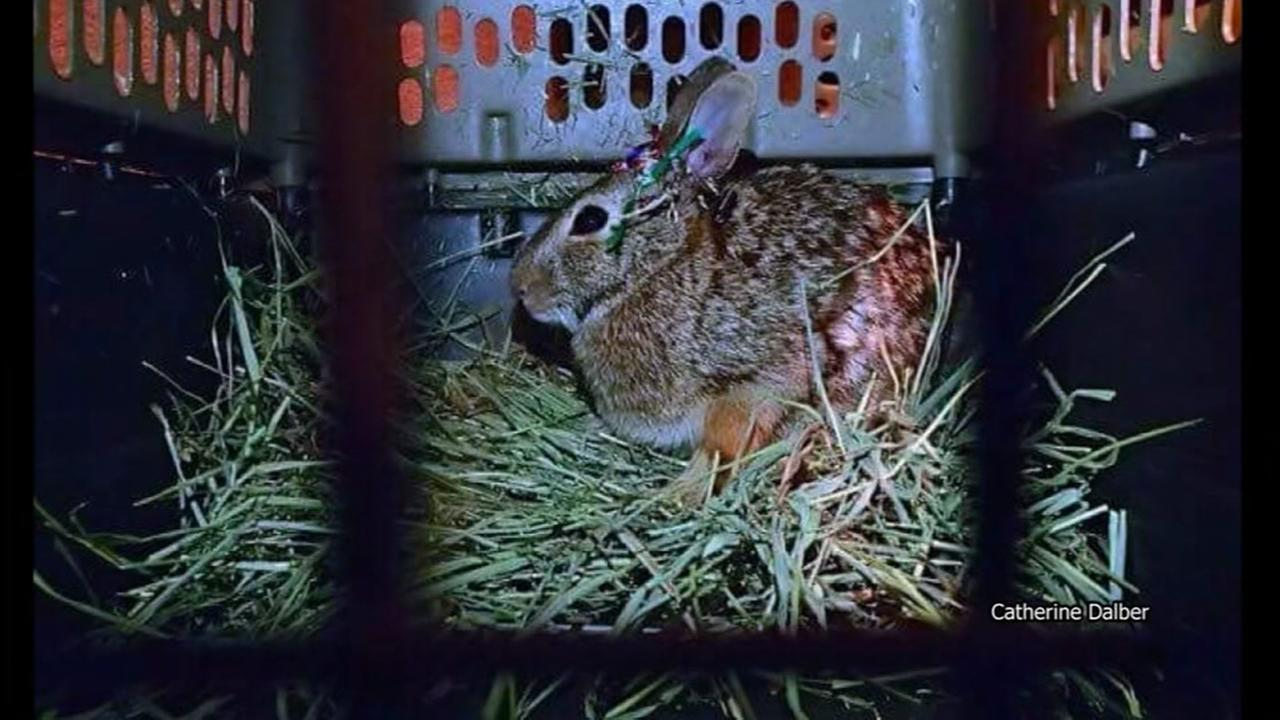 Rabbits found mutilated in Chicago park