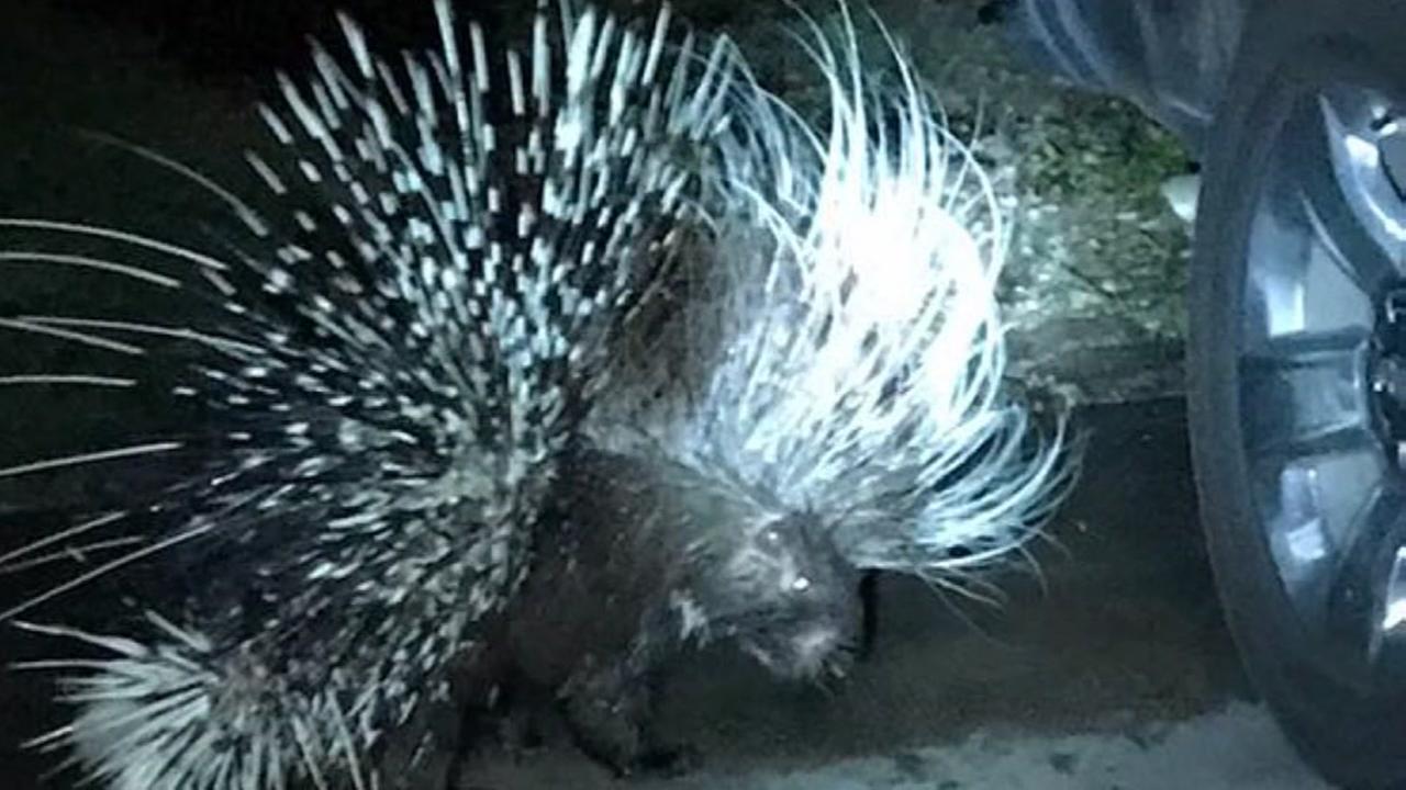 New KDog injured by large porcupine in Sweenyeyword