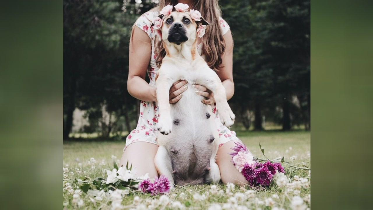 Pregnant pups maternity photo shoot is the cutest!