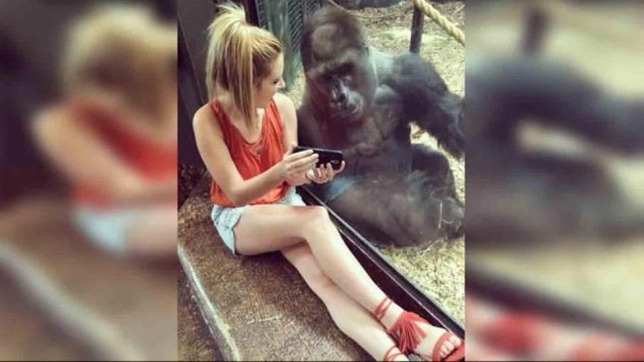 Gorilla captivated by videos of baby gorillas