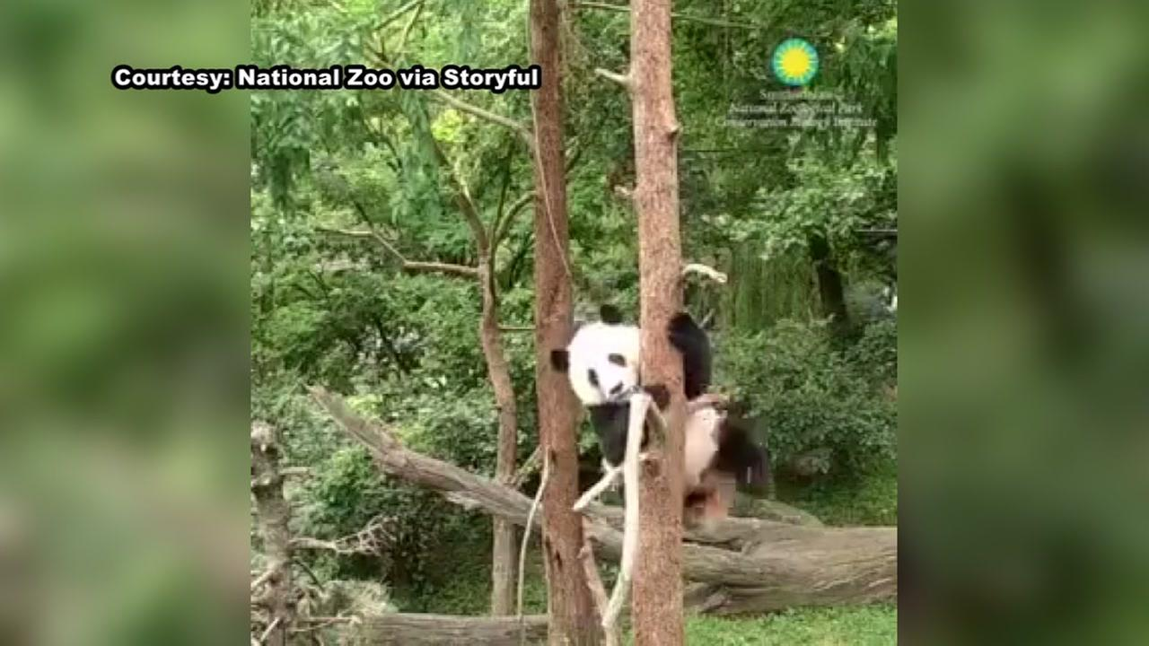 Video shows panda cub keeps falling out of trees
