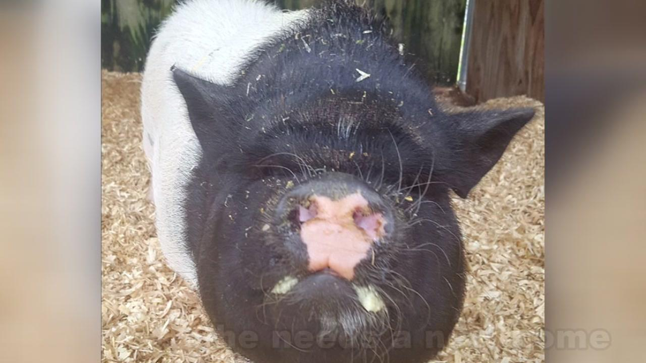 Meet Spamela Hamerson: The Houston SPCA pig up for adoption