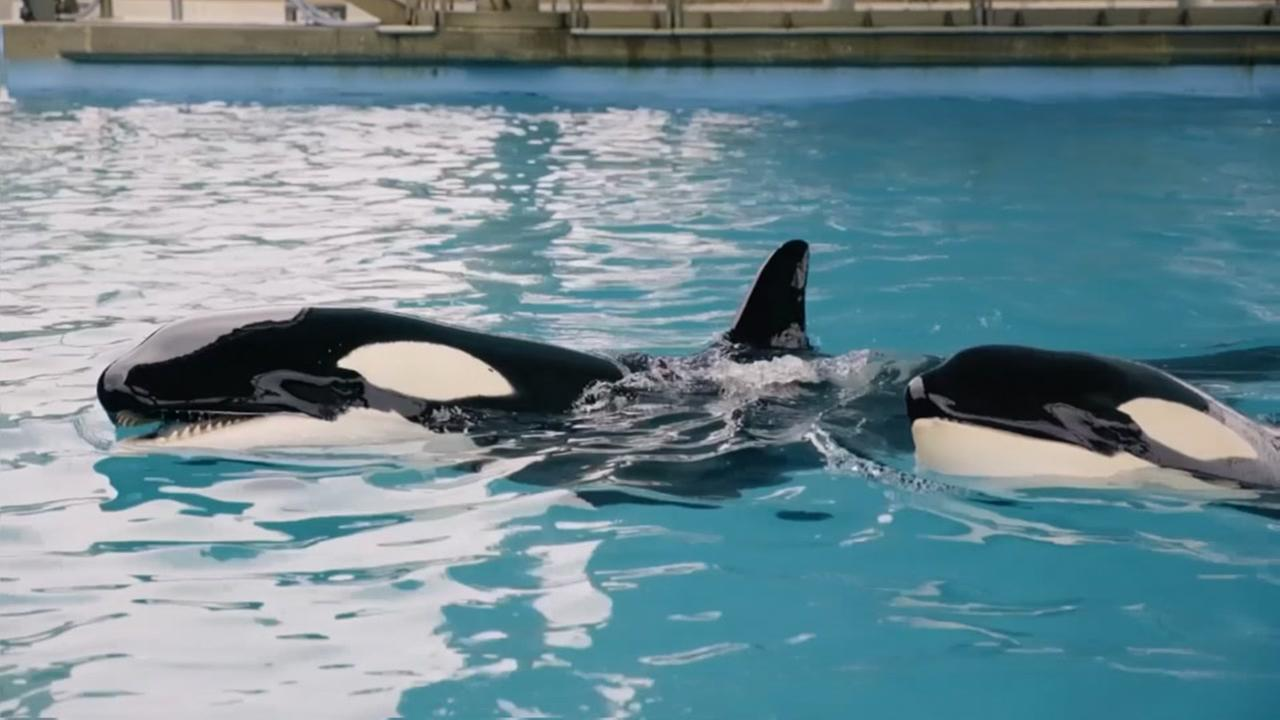 Killer whale calf dies after infection at SeaWorld
