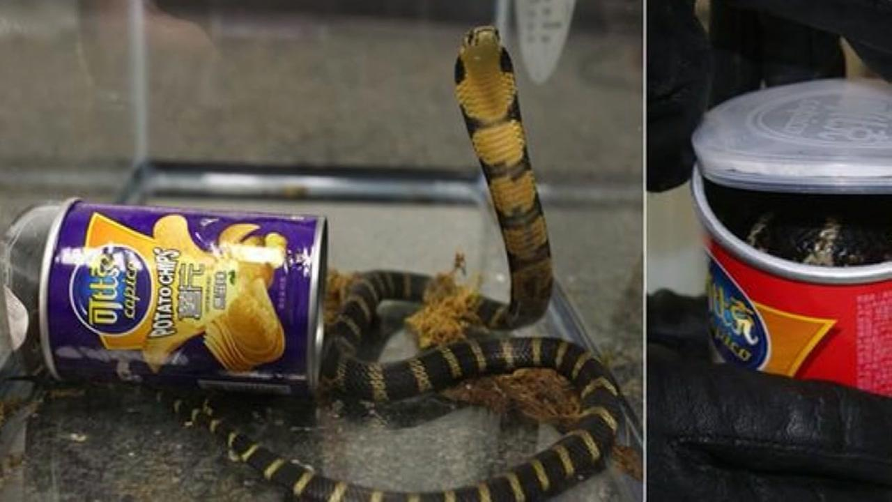 Man arrested for trying to smuggle king cobra