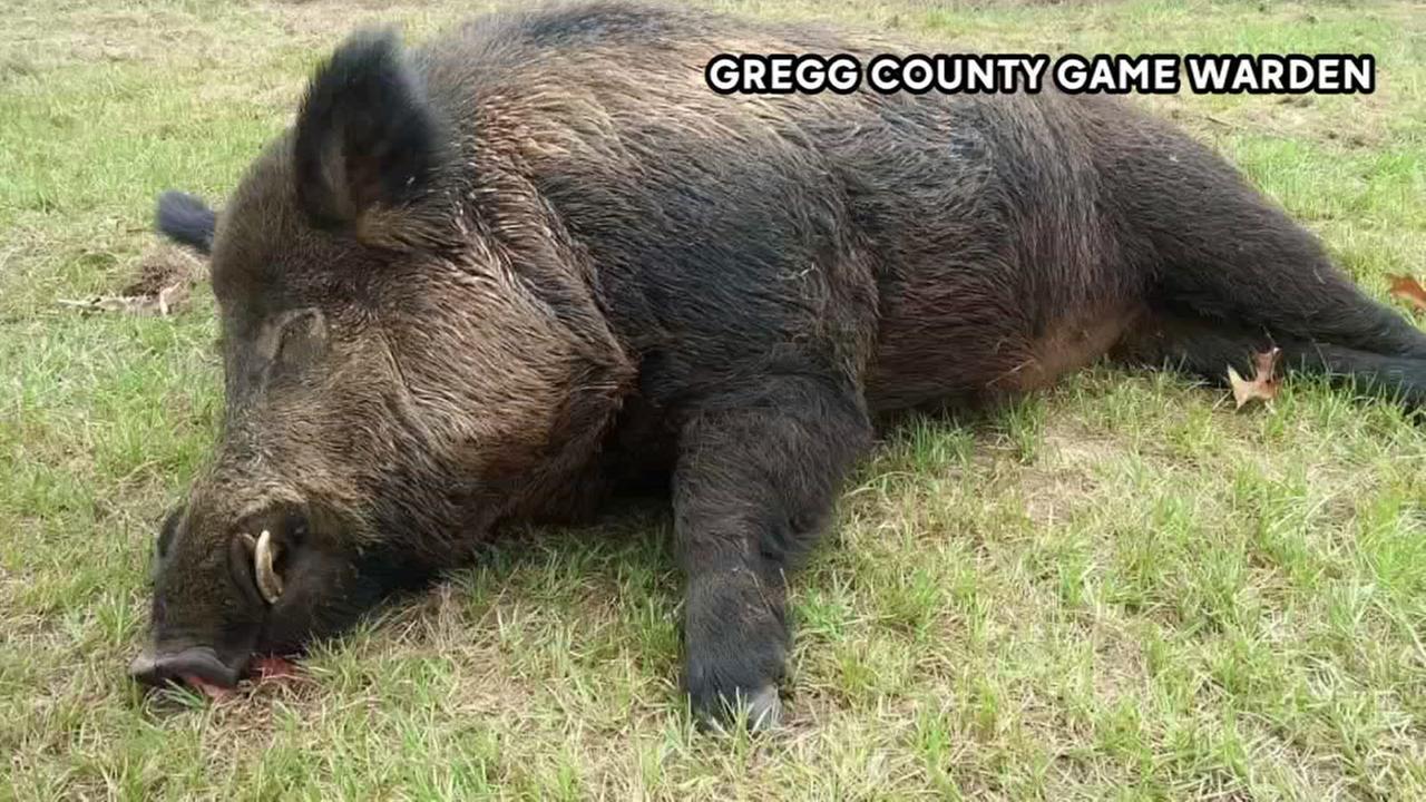 Man kills 416-pound wild hog in his yard