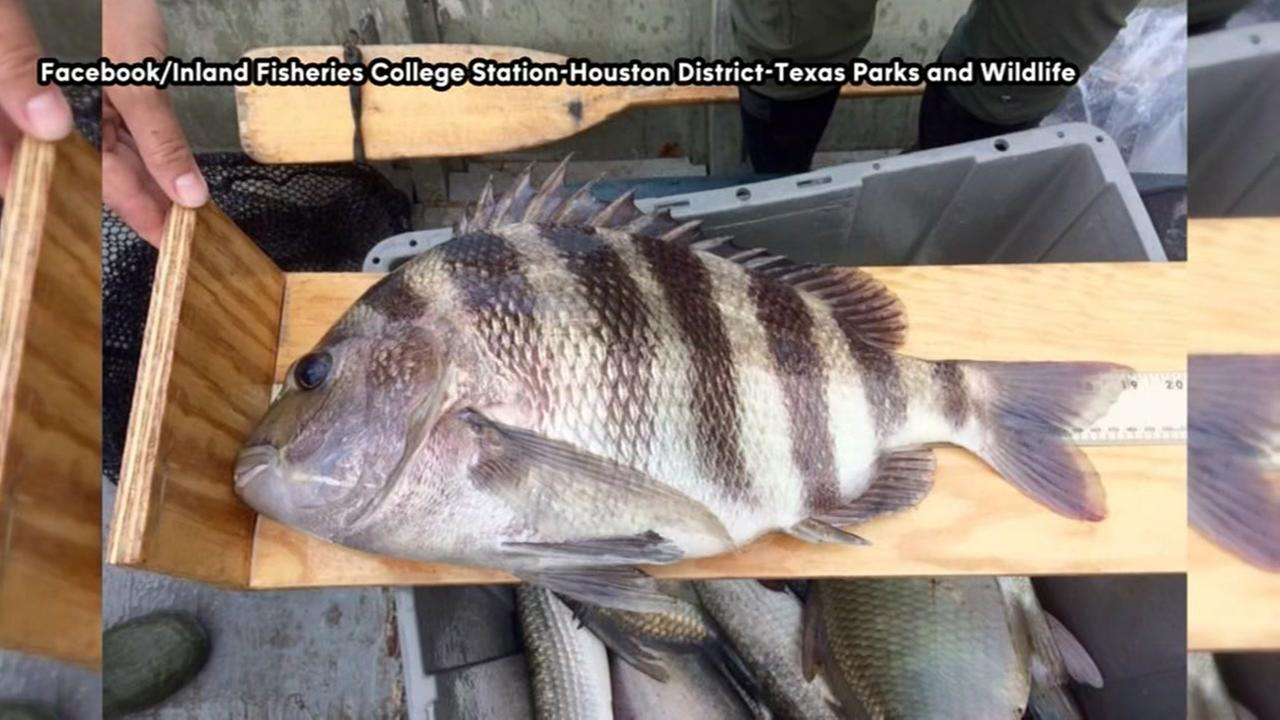 Saltwater fish discovered in Brays Bayou
