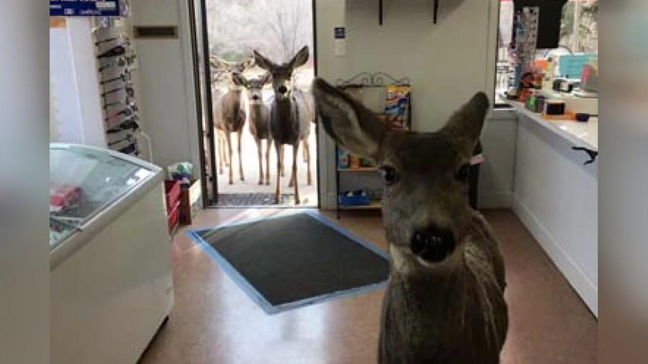 Deer walk into store for amazing photo shoot