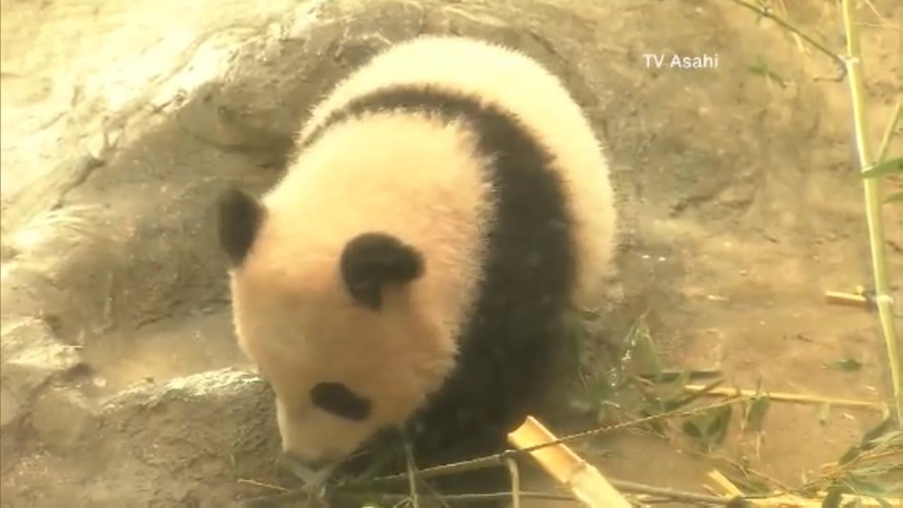 Panda cub makes debut at Tokyo zoo