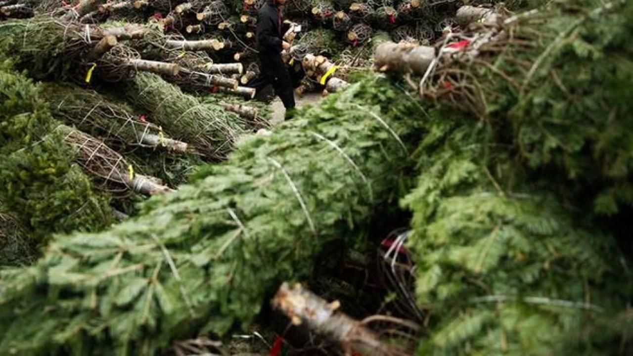 Christmas trees in BrazoriaNew Keyword