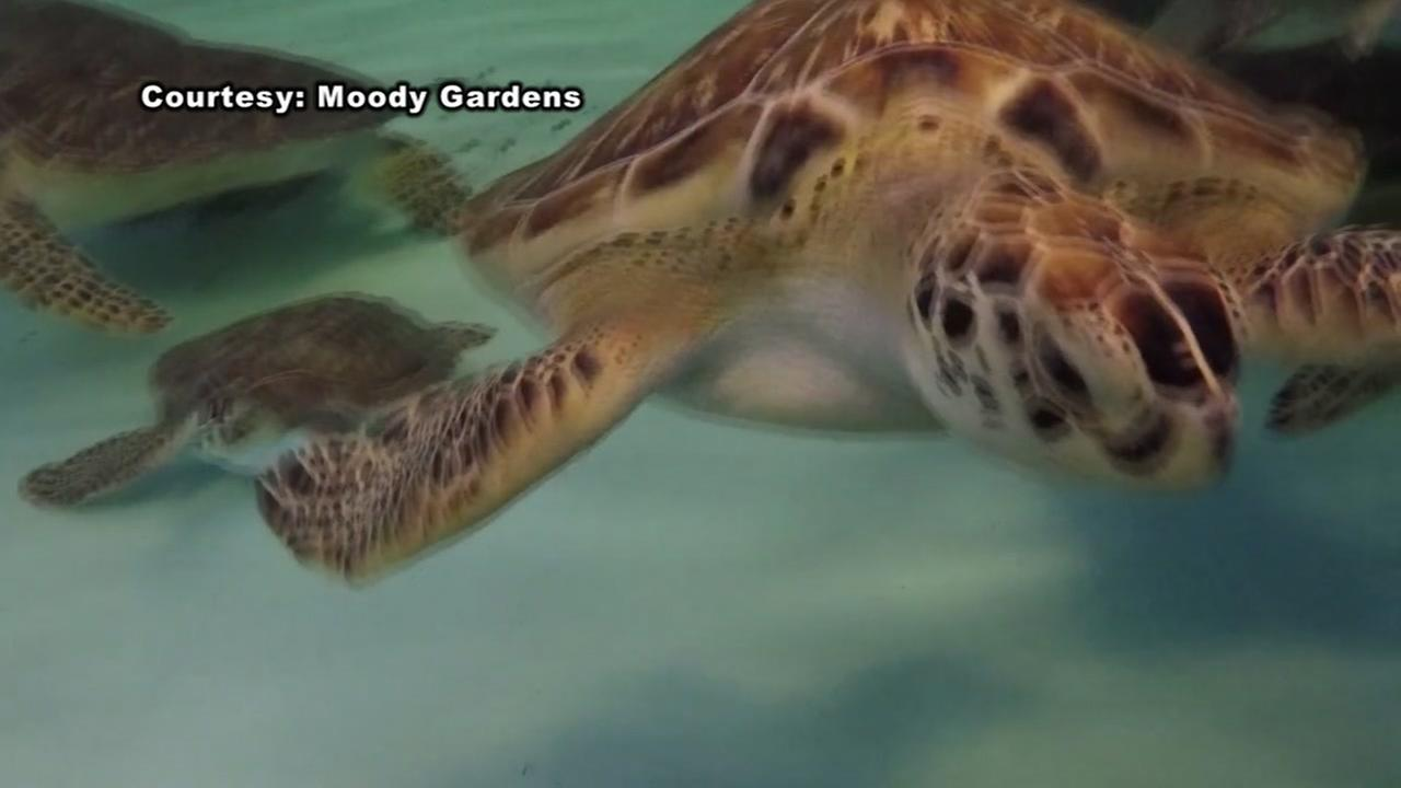 Rescued sea turtles to be released