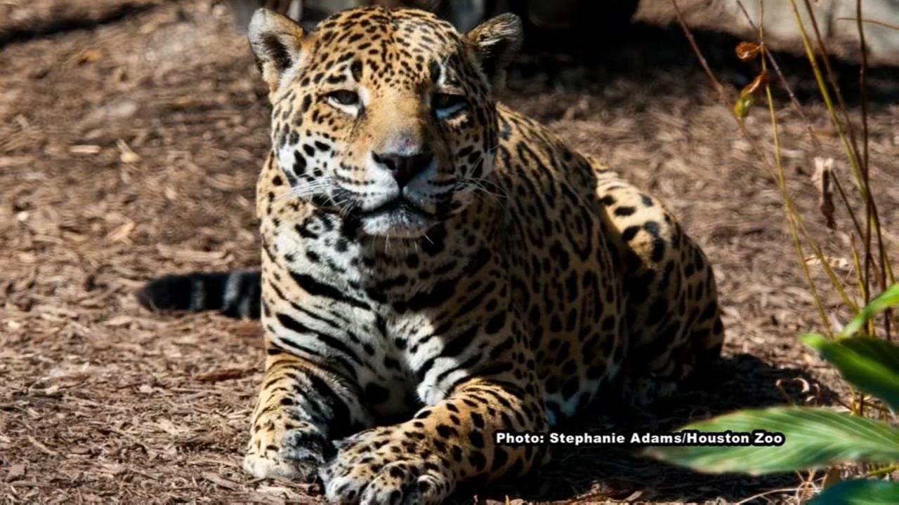Jaguar at Houston Zoo, euthanized