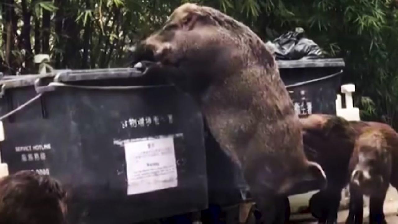 Wild boar at dumpster