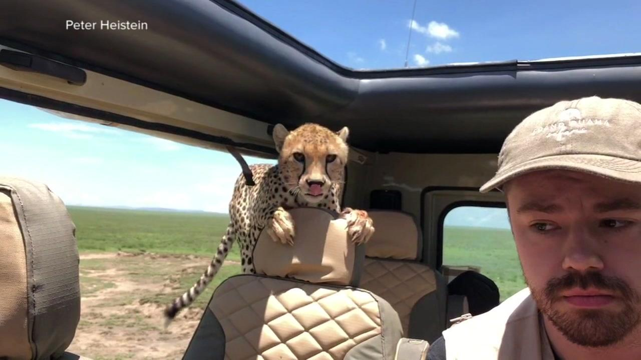 Close call with cheetah caught on camera