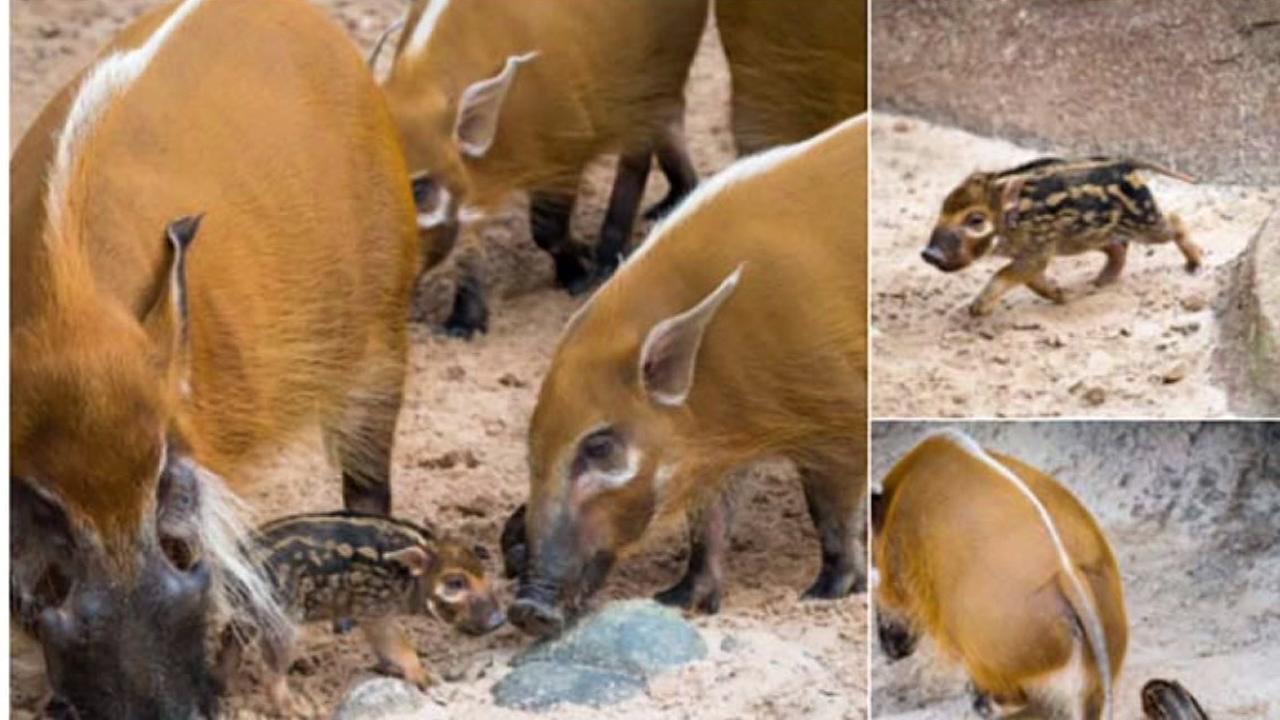 River hog makes his debut at Houston Zoo