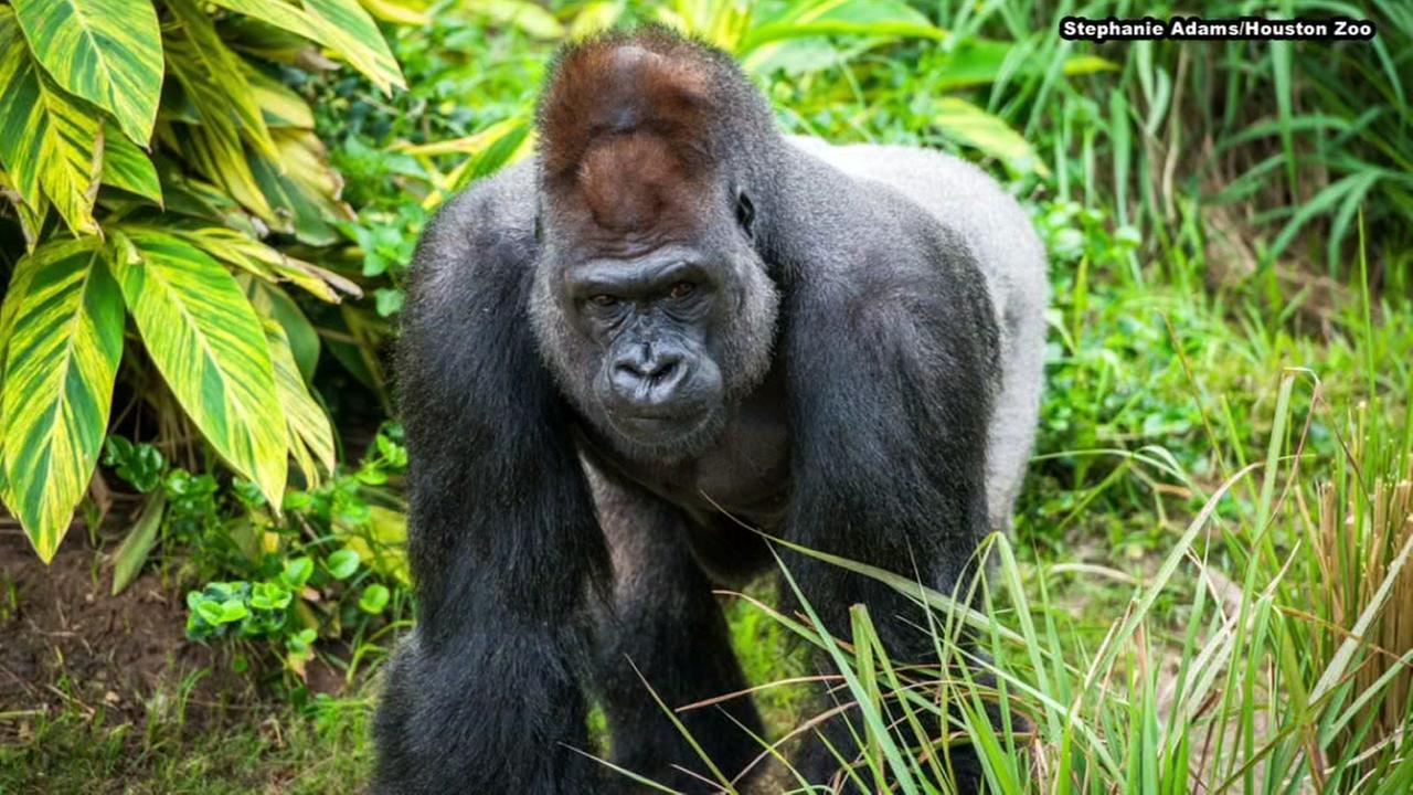 Houston zoo mourns death of Silverback Gorilla