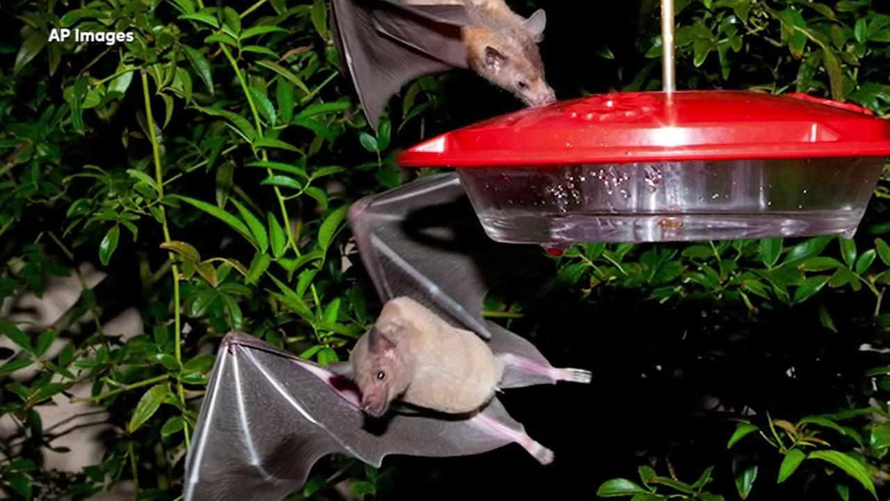 Bat that helps make tequilla off the endangered list
