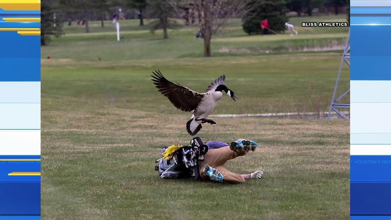 Goose attacks high school golfer at golf course