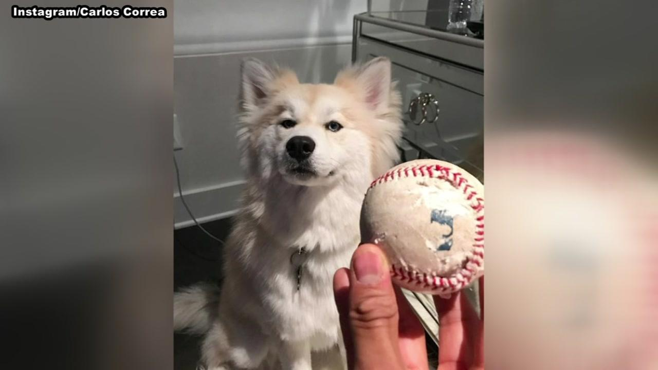 Carlos Correas dog chews up ball