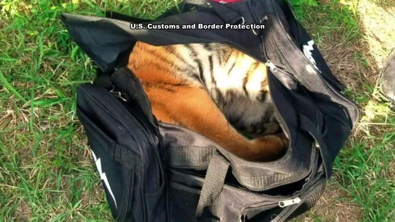 Tiger cub found in duffle bag