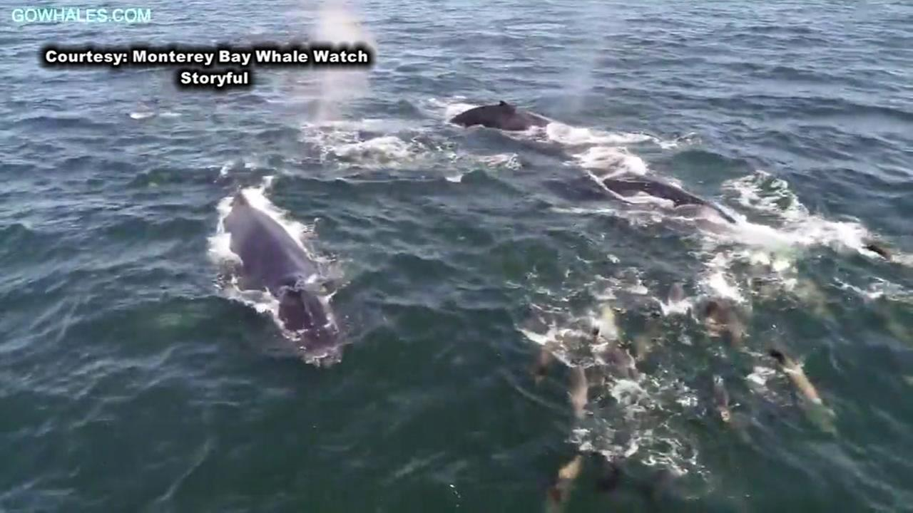 Video shows baby humpback whale while playing with its mother