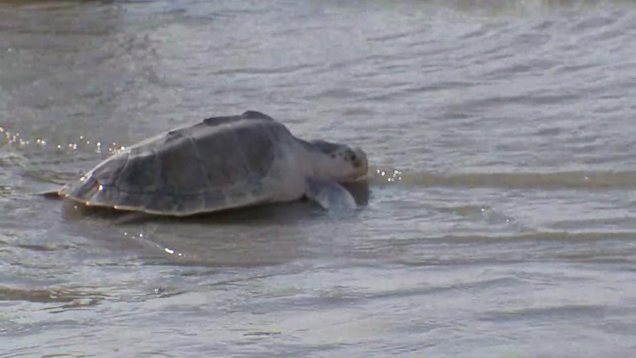 Sea turtle release in Galveston