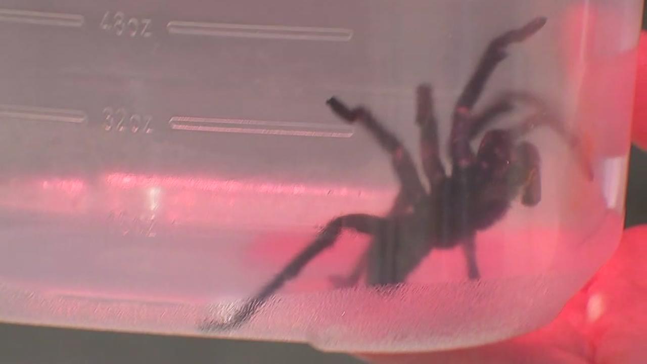 CREEPY CRAWLY: Residents on edge after tarantulas invade Missouri City neighborhoods