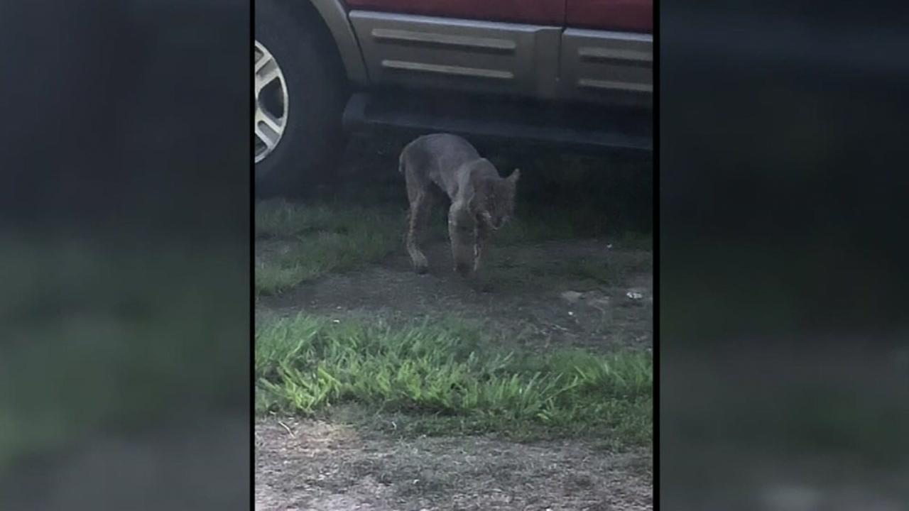 Georgia grandma kills rabid bobcat