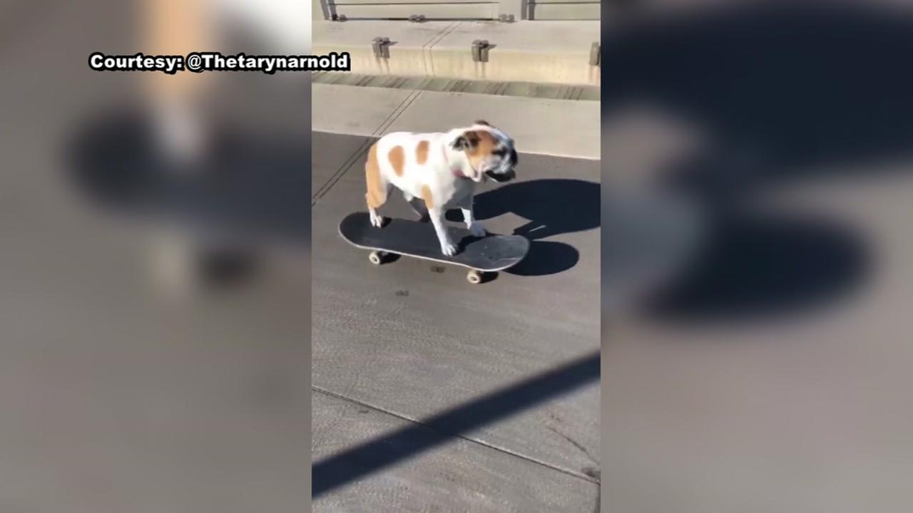 Bulldog rides on skateboard