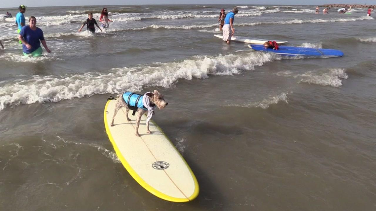 Dog surfing in Galveston