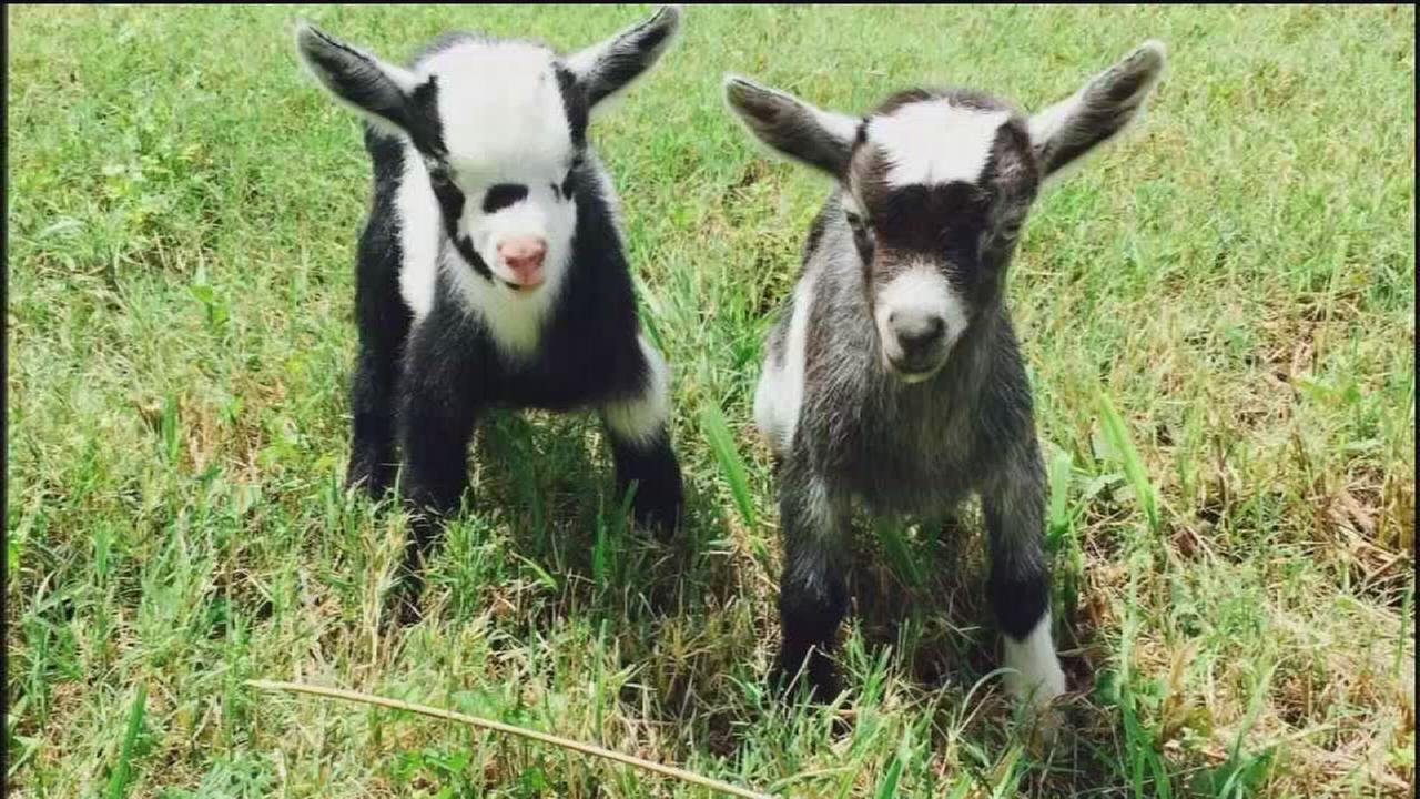 Homeowner searching for missing kids, as in baby goats