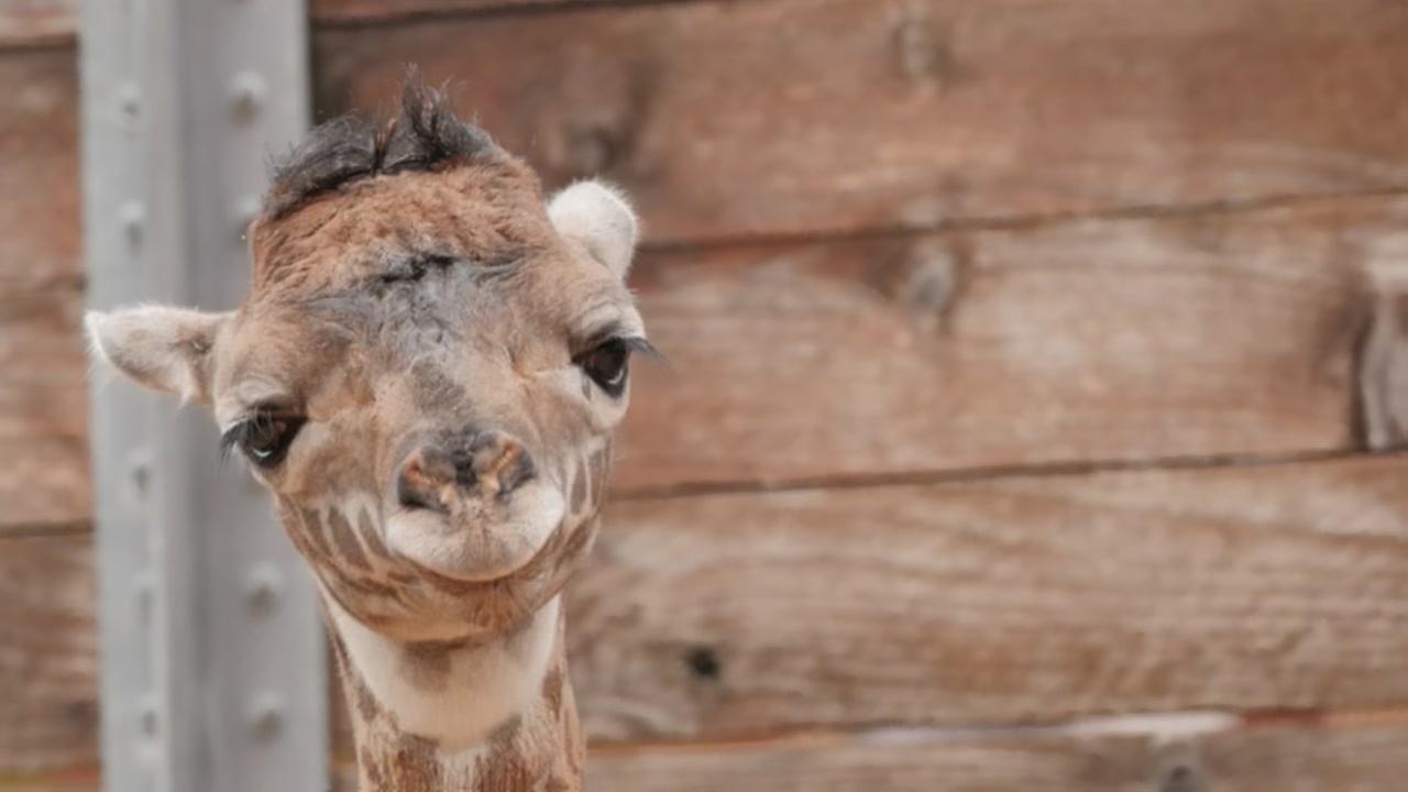 090215-flint-mel-baby-giraffe-vid