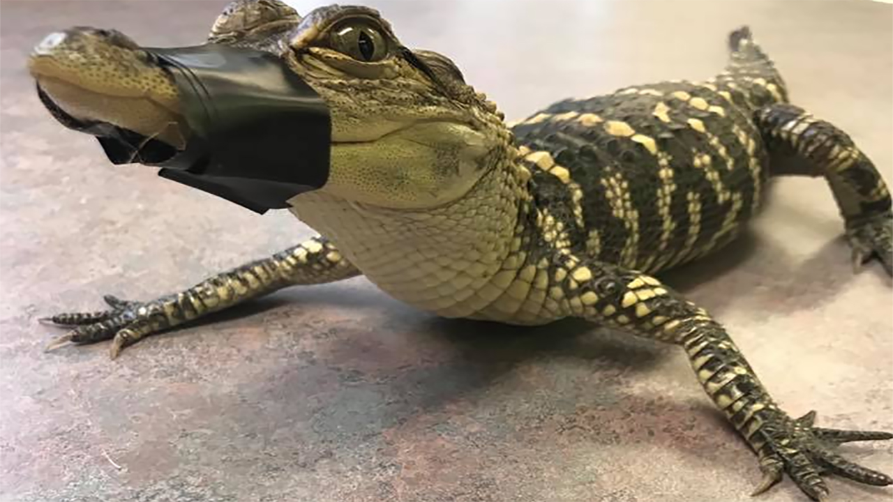 Suffolk County SPCA seizes alligator from home in Hauppauge