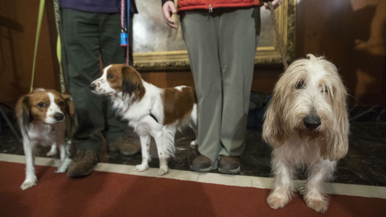 FILE - In this 2018 file photo, Escher, left, and Rhett, center, Nederlandse kooikerhondje, and Juno, right, a grand basset griffon Vendeen, are shown by their handlers.