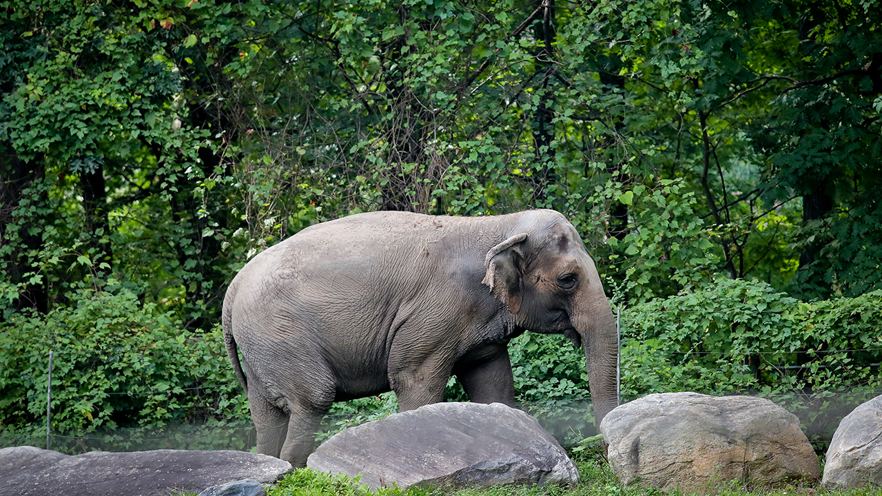 Bronx Zoo elephant Happy strolls inside the zoos Asia display, Tuesday Oct. 2, 2018, in New York.