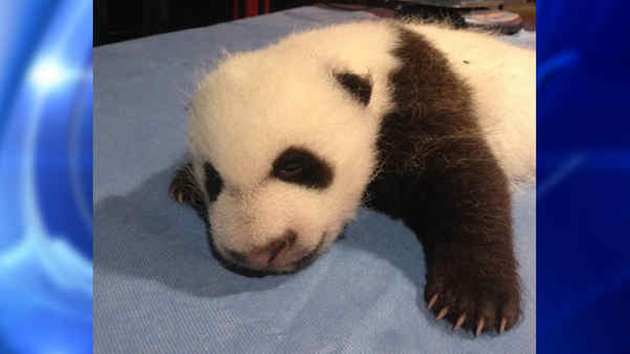 Panda cub Bei Bei at National Zoo opens eyes at just under 7 weeks old