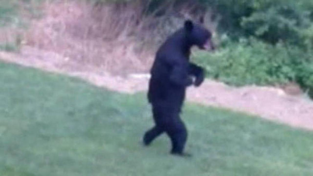 Walking bear strolls through NJ neighborhood