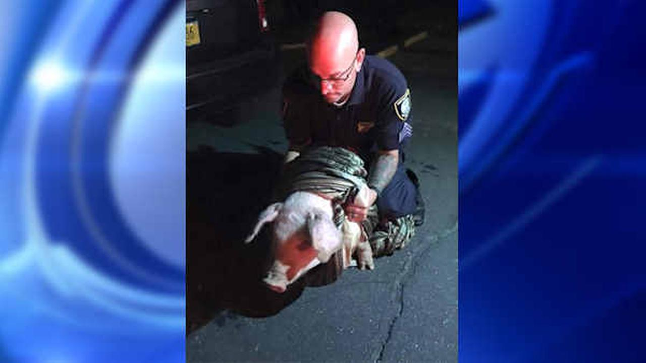 Police track down pig that was wandering streets of East Patchogue, LI