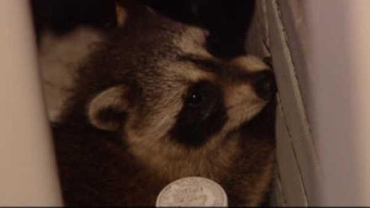 New Jersey residents warned of rabid raccoons after girl attacked