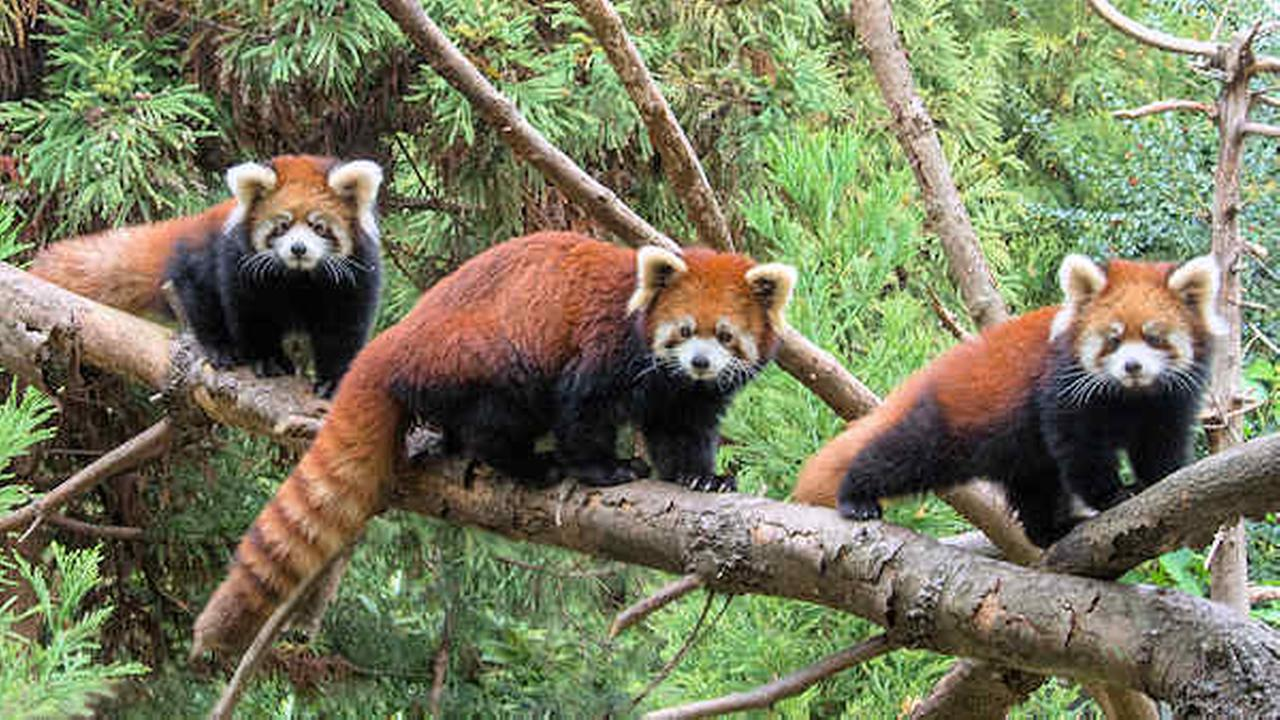 2 red panda cubs make public debut at Prospect Park Zoo