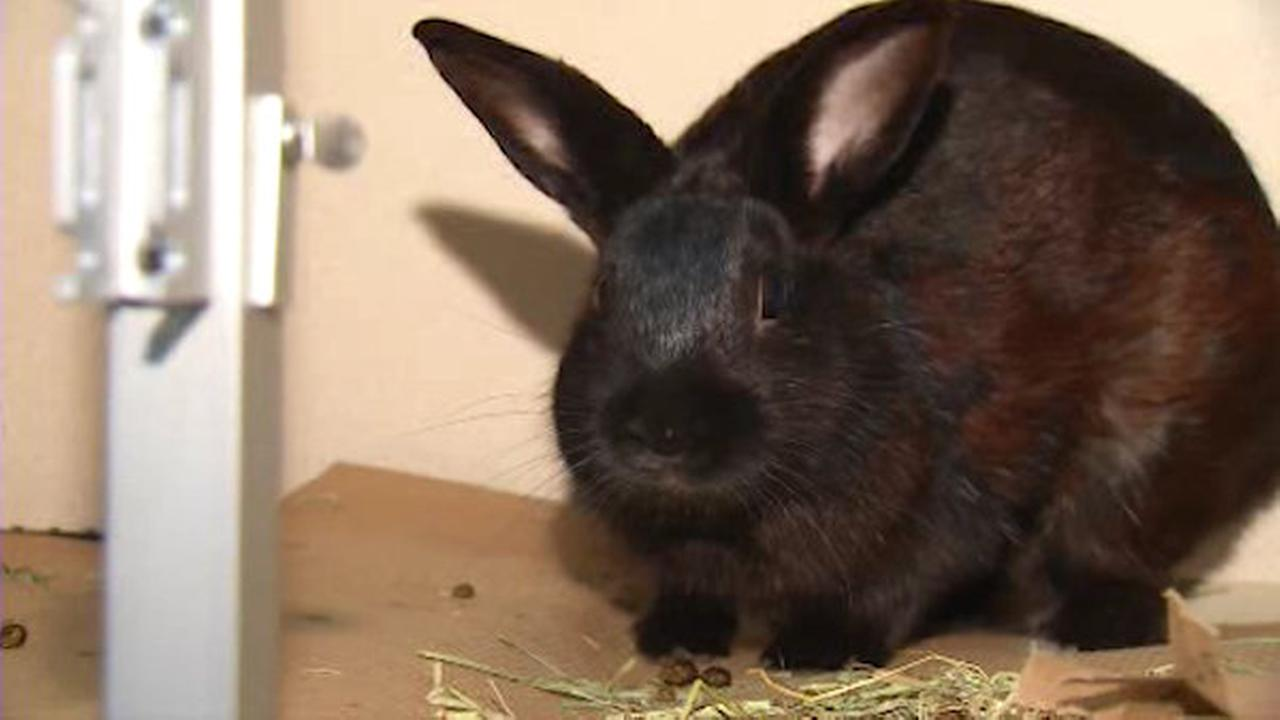50 rabbits up for adoption in Union Square on Saturday