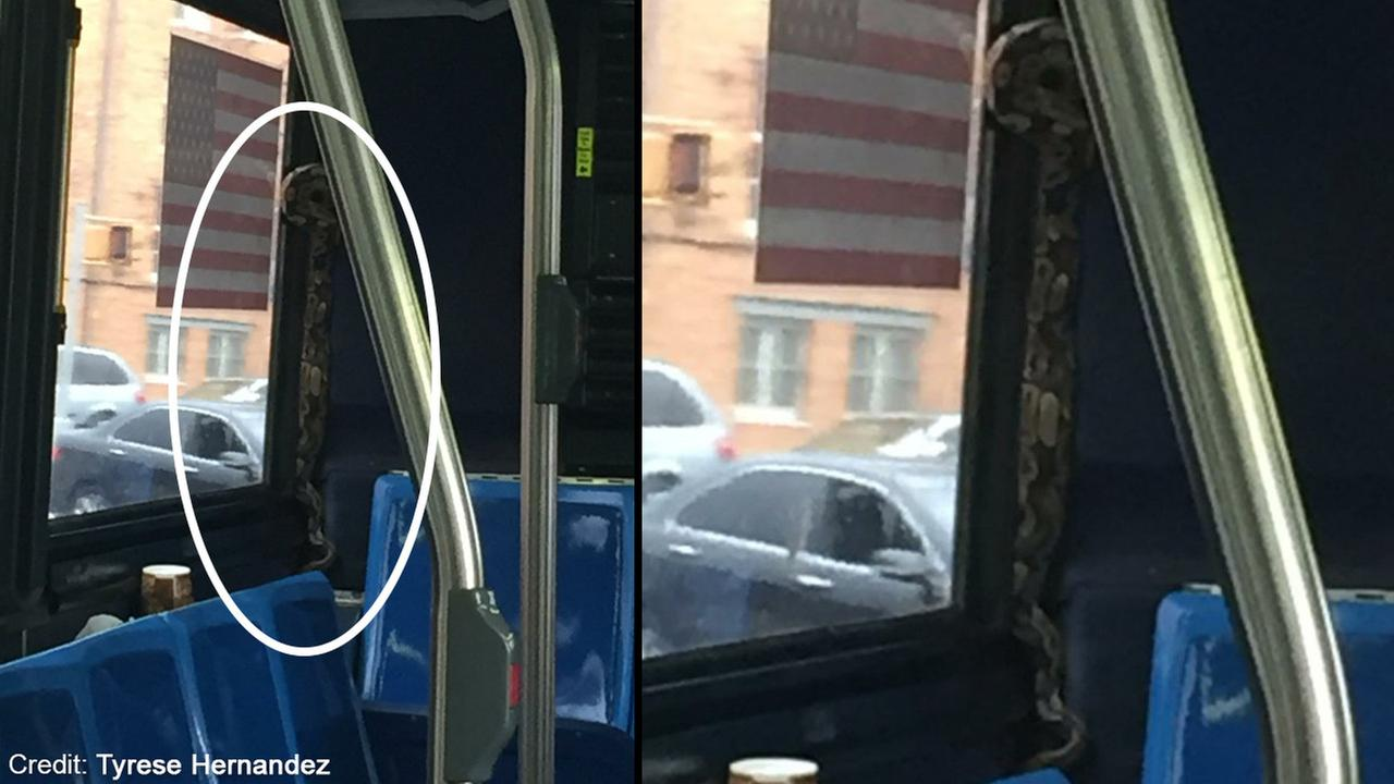 Boa constrictor found slithering around on bus in Brooklyn