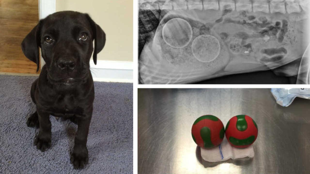 Puppy gets two plastic squeaky toys removed from stomach