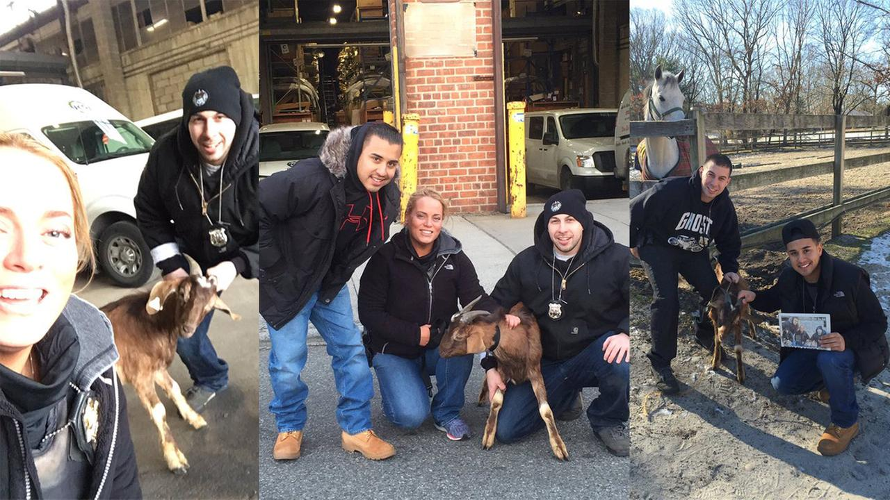 NYPD officers spend $40 to spare baby goat that escaped slaughterhouse